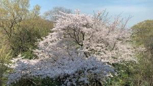 老人ホームの桜